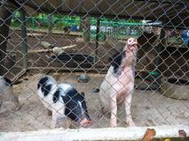 Pigs in the prison. Using for wallpaper or web background royalty free stock photography