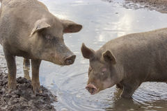 Pigs in a Puddle Royalty Free Stock Photos