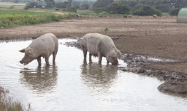 Pigs in a Puddle Stock Photography