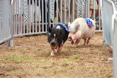 Pigs Race At Georgia State Fair Royalty Free Stock Photography