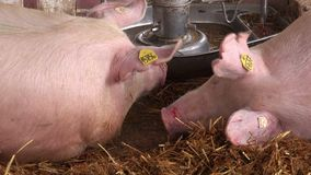 Pigs at 83rd Traditional Agricultural fair in Novi Sad, Serbia stock video