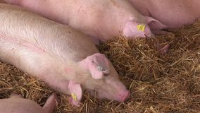 Pigs at 83rd Traditional Agricultural fair in Novi Sad, Serbia stock video footage