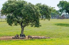 Pigs resting in the shade. Of a tree stock photos