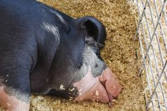 Swine resting in a pen at the county fair. Pigs resting at the Walworth County Fair in Elkhorn, WI stock photo