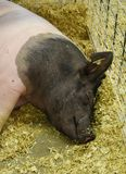 Swine resting in a pen at the county fair. Pigs resting at the Walworth County Fair in Elkhorn, WI royalty free stock photos