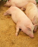 Pigs resting on wood shavings Royalty Free Stock Photo