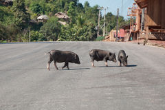 Pigs on the Road Royalty Free Stock Images