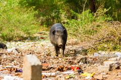 Pigs roaming free in the city of Bangalore India. These pigs are owned by local people who let them forage in the waste litter during the day and lock them in Stock Photo