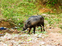 Pigs roaming free in the city of Bangalore India. stock image