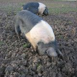 Pigs rooting. Two black and pink striped Essex pigs rooting for food in the mud Stock Photos