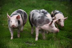 Happy young pigs graze on eco animal farm Royalty Free Stock Images