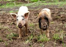 Two muddy piglets on a farm stock photo