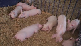 Pigs. Several Pigs in Pen at Farm stock video