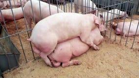 Pigs sex 3. Pigs have sex on livestock farm