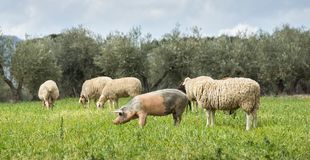 Pigs and sheep grazing in a field royalty free stock photo