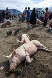 Pigs sleep at the Otavolo animal market in Ecuador in South America. Stock Photos