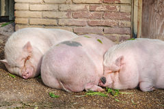 Pigs sleeping Royalty Free Stock Photo