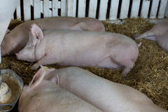Pigs sleeping beside hog feeder Stock Photography