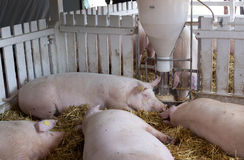 Pigs sleeping beside hog feeder Royalty Free Stock Photos