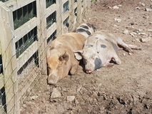 Pigs sleeping Stock Images
