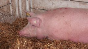 Pigs sleeping at 83rd Traditional Agricultural fair in Novi Sad stock video