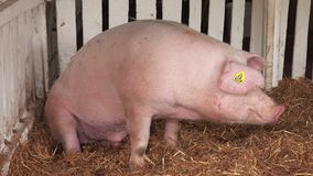Pigs sleeping at 83rd Traditional Agricultural fair in Novi Sad stock video footage