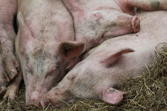 Pigs sleeping Royalty Free Stock Image