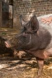 Pigs smells. The wild boar is smelling something royalty free stock photography