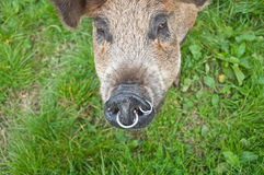Pigs snout Royalty Free Stock Photos