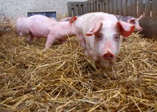 Pigs in an stable. With hay on the ground Royalty Free Stock Images