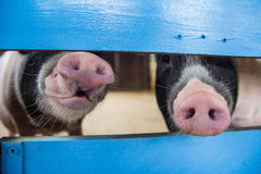 Pigs sticking their noses through a fence Stock Photography