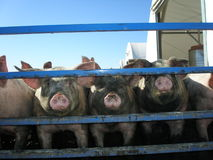 Pigs in stockade. A pen of pigs in a stockade at the market Stock Photos