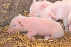 Pigs on straw Royalty Free Stock Photos