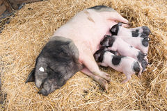 Pigs in straw Stock Photography