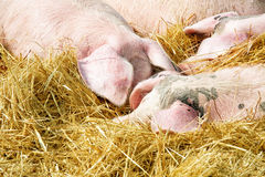 Pigs on the straw Stock Photos