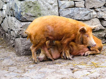 Pigs in a Sty Royalty Free Stock Photo