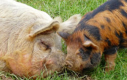 Pigs together Royalty Free Stock Images