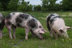Pigs are together on summer pasture royalty free stock photo