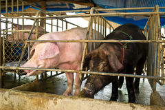 Pigs in traditional farm Royalty Free Stock Image