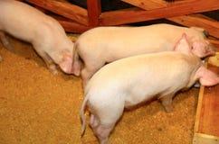 pigs tre Fotografering för Bildbyråer