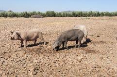 pigs tre Royaltyfri Fotografi
