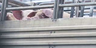 Pigs on truck way to slaughterhouse for food. Stock Photos