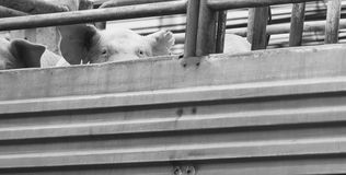 Pigs on truck way to slaughterhouse for food. Stock Images