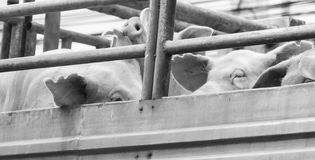 Pigs on truck way to slaughterhouse for food. Royalty Free Stock Images