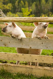 pigs två Fotografering för Bildbyråer