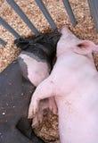 pigs två Royaltyfri Bild