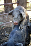 Pigs. Two dirty muddy pigs copulating Royalty Free Stock Images