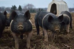 Piglets. On an outdoor farm stock image