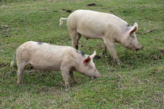 Pigs. Two young pigs graze in green meadow royalty free stock image