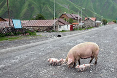 Pigs in a village in Caucasus mountains, Georgia Royalty Free Stock Photo